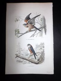 Buffon 1849 Hand Col Bird Print. Kestrel & Merlin